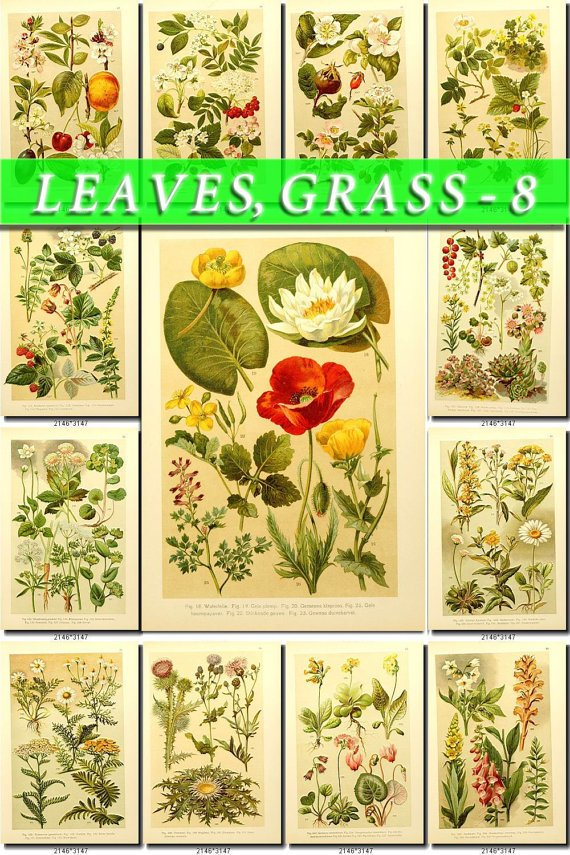 LEAVES GRASS-8 255 vintage print