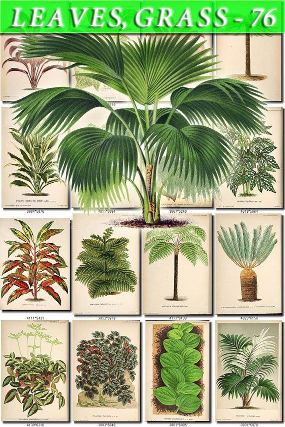 LEAVES GRASS-76 274 vintage print