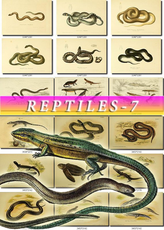 REPTILES & AMPHIBIAS-7-b1 176 vintage print