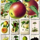 FRUITS VEGETABLES-13 80 vintage print