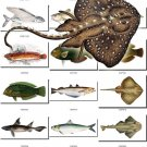FISHES-12 115 vintage print