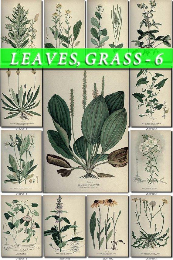 LEAVES GRASS-6 176 vintage print