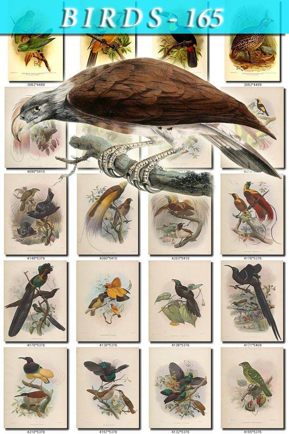 BIRDS-165 78 vintage print