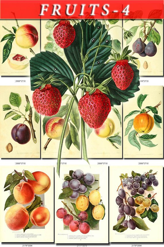 FRUITS VEGETABLES-4 114 vintage print