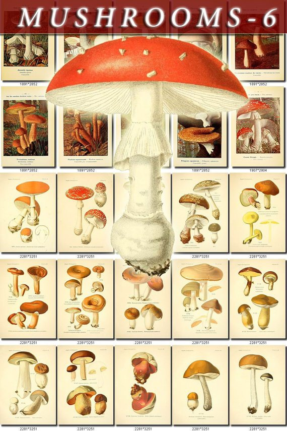 MUSHROOMS-6 276 vintage print