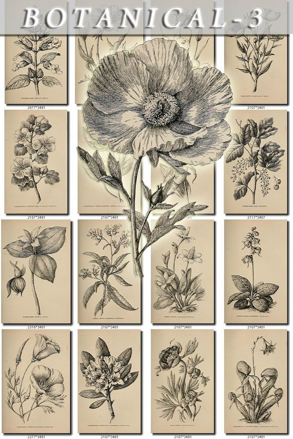 BOTANICAL-3-bw 496 black-, -white vintage print