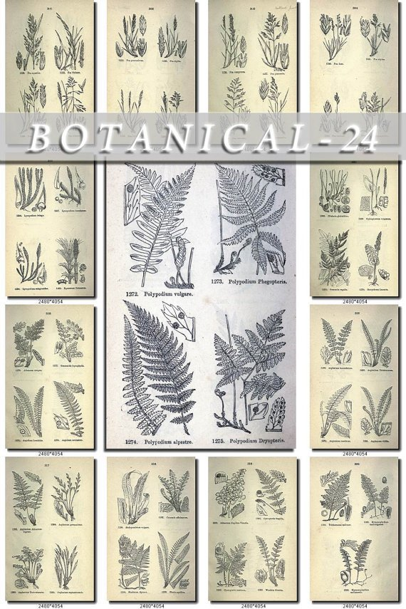 BOTANICAL-24-bw 320 black-, -white vintage print