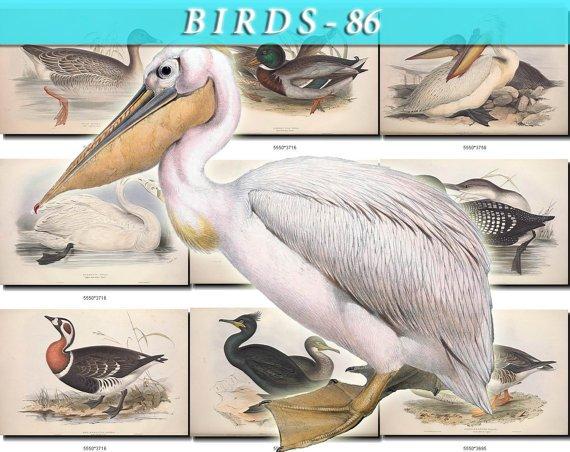 BIRDS-86 103 vintage print
