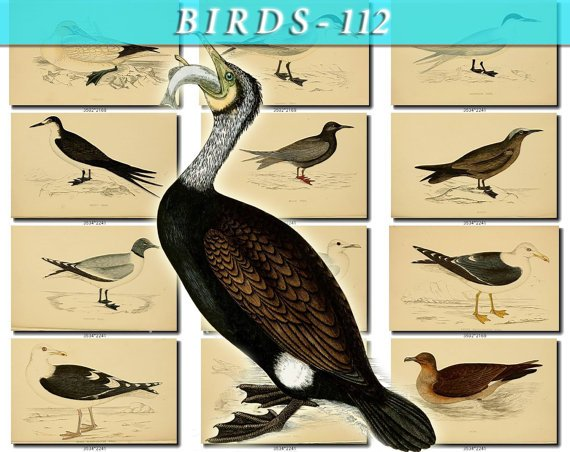 BIRDS-112 67 vintage print