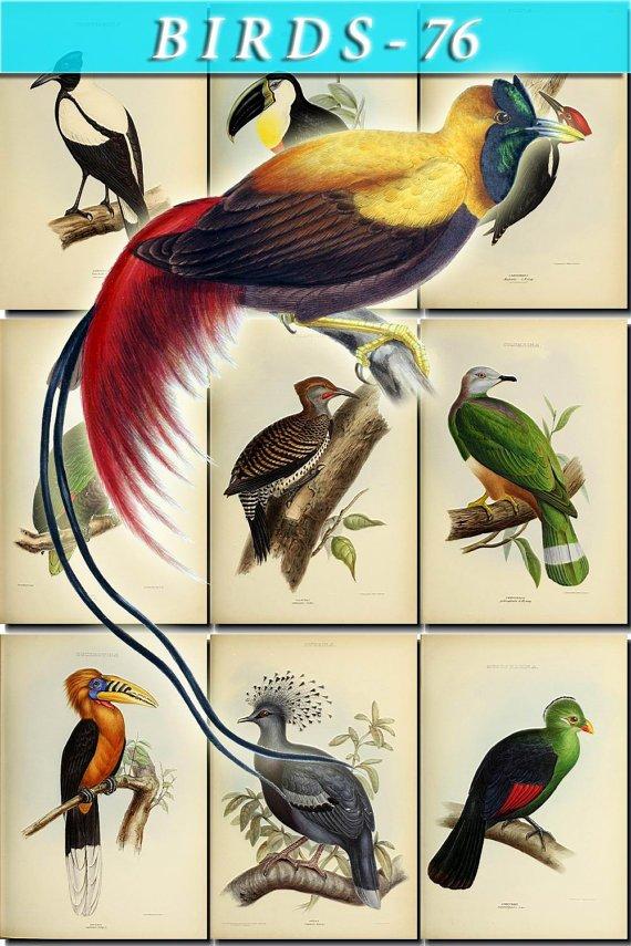 BIRDS-76 49 vintage print