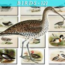 BIRDS-121 71 vintage print