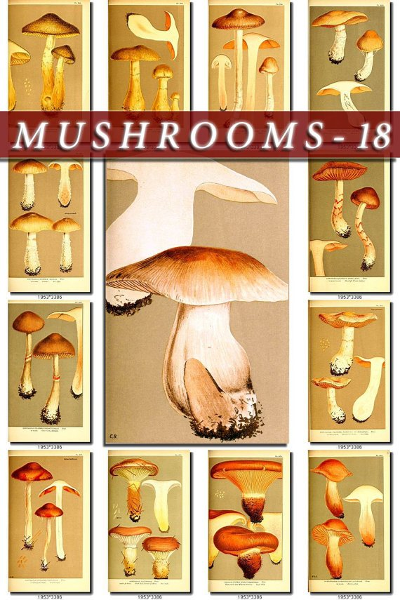 MUSHROOMS-18 162 vintage print