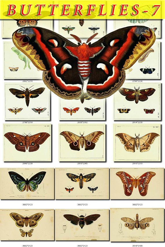 BUTTERFLIES-7 270 vintage print