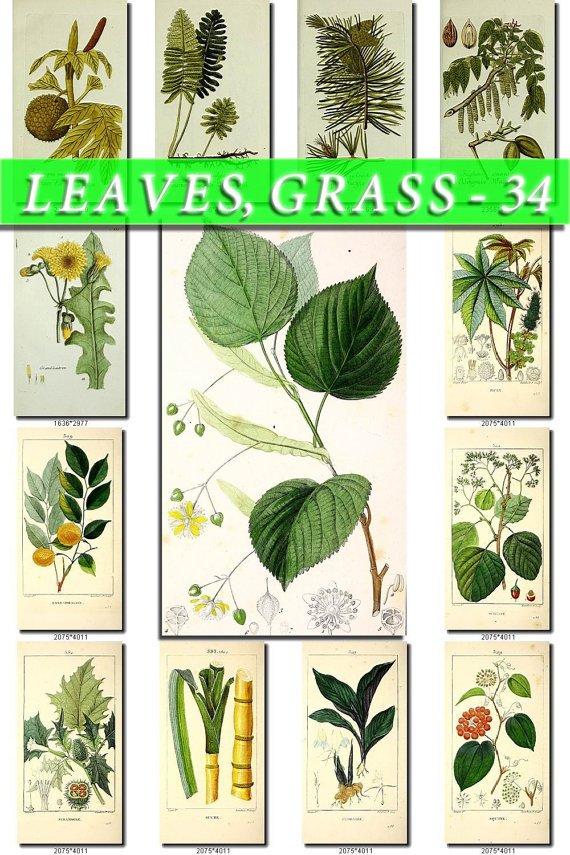 LEAVES GRASS-34 226 vintage print