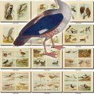 BIRDS-44 204 vintage print