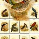 BIRDS-124 55 Sooty Falcon Madagascar Sparrowhawk Parrot Buzzard vintage print