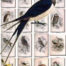 BIRDS-128 54 Falcon Kestrel Buzzard Harrier Owl Thrush Hawfinch vintage print