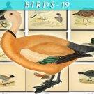 BIRDS-19 211 vintage print