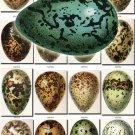 BIRDS EGGS-2 140 vintage print