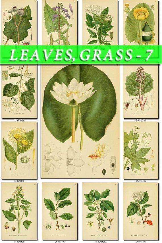 LEAVES GRASS-7 268 vintage print