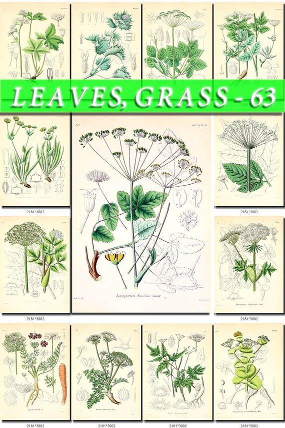 LEAVES GRASS-63 210 vintage print