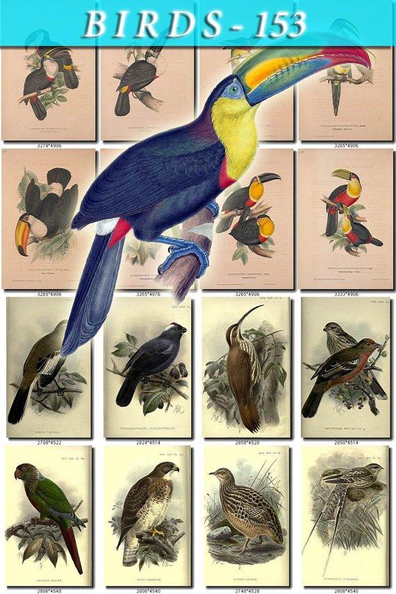 BIRDS-153 225 vintage print