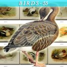 BIRDS-55 58 vintage print