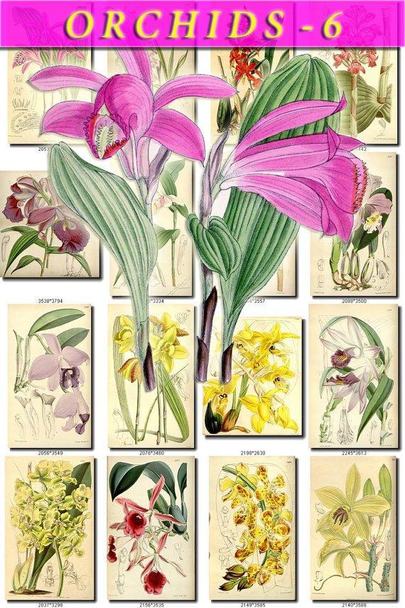 ORCHIDS-6 flowers 216 vintage print