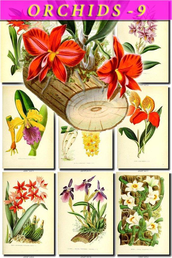 ORCHIDS-9 flowers 50 vintage print