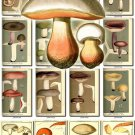 MUSHROOMS-19 202 vintage print