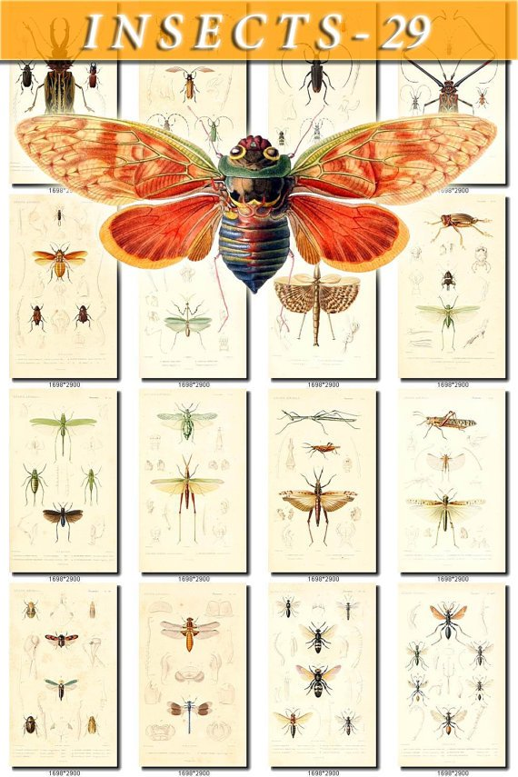 INSECTS-29 151 vintage print