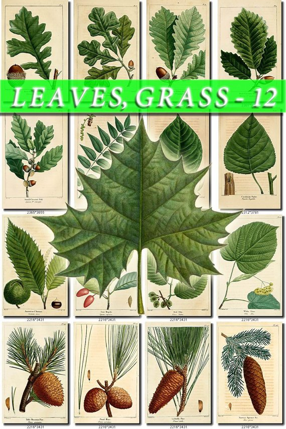 LEAVES GRASS-12 160 vintage print