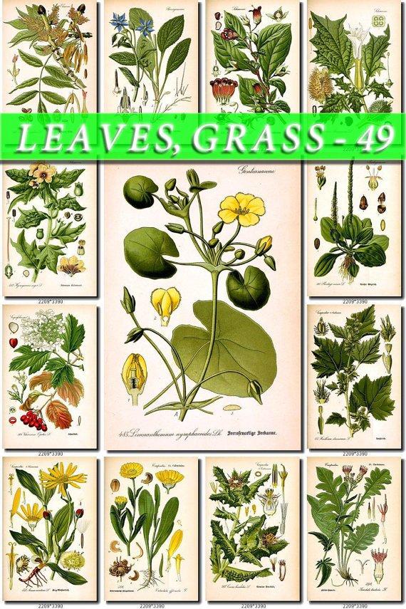 LEAVES GRASS-49 147 vintage print