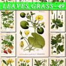 LEAVES GRASS-49 147 vintage print
