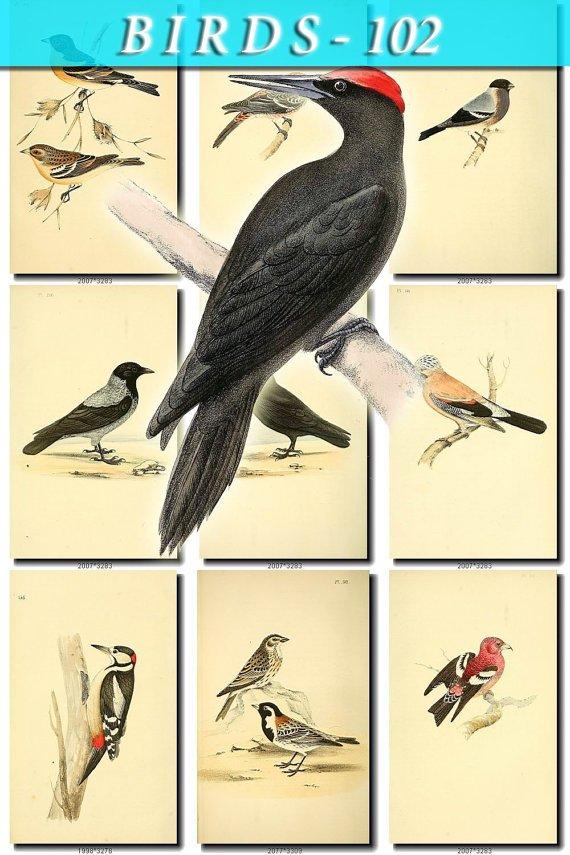 BIRDS-102 98 vintage print