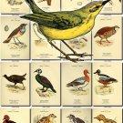 BIRDS-123 72 Falcon Vulture Ducks Ptarmigan netsling Partridge vintage print