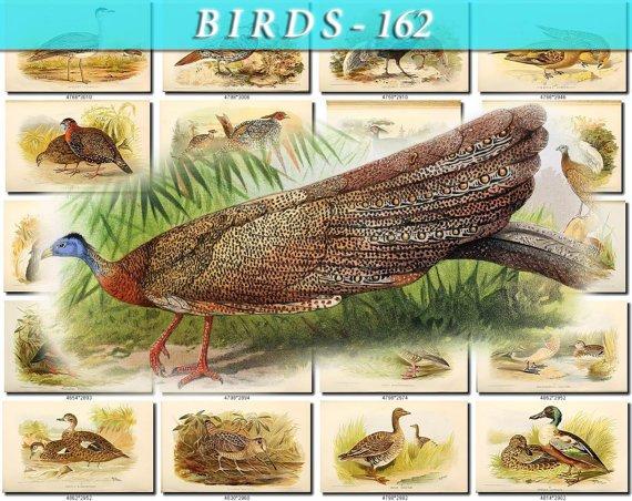 BIRDS-162 133 vintage print