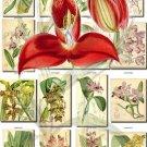 ORCHIDS-4 flowers 224 vintage print