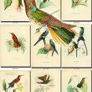 HUMMINGBIRDS-3 TROCHILIDAE 120 vintage print