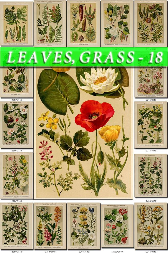 LEAVES GRASS-18 353 vintage print