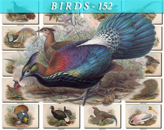 BIRDS-152 119 vintage print