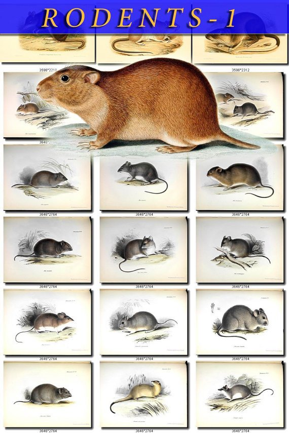 RODENTS-1 53 vintage print