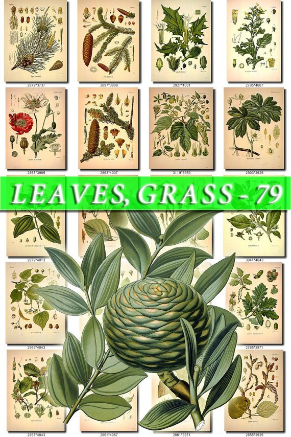 LEAVES GRASS-79 362 vintage print