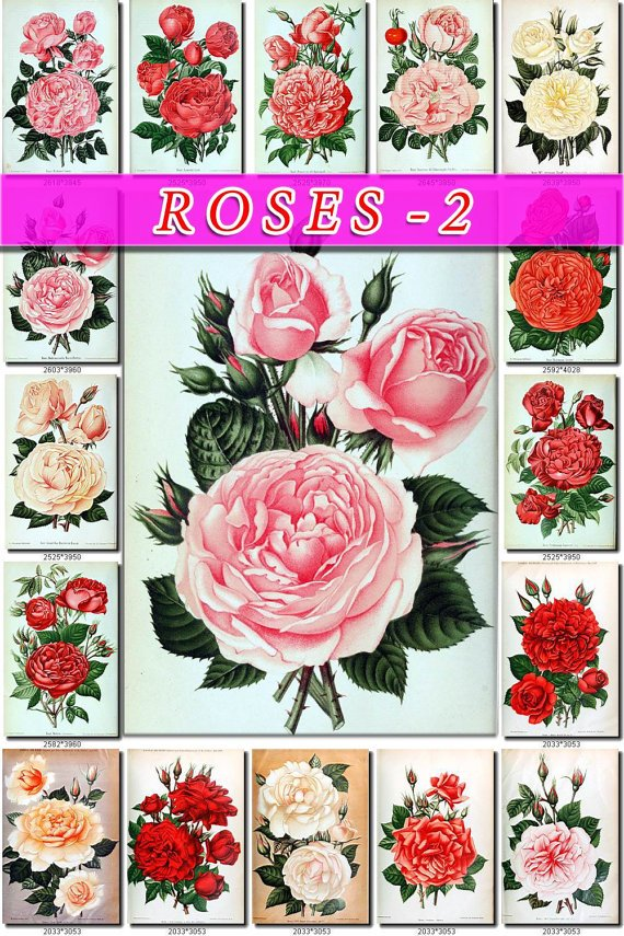 ROSES-2 25 vintage print