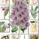 ORCHIDS-7 flowers 215 vintage print