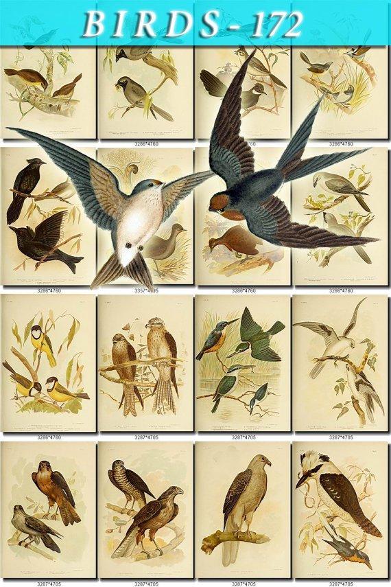 BIRDS-172 95 vintage print
