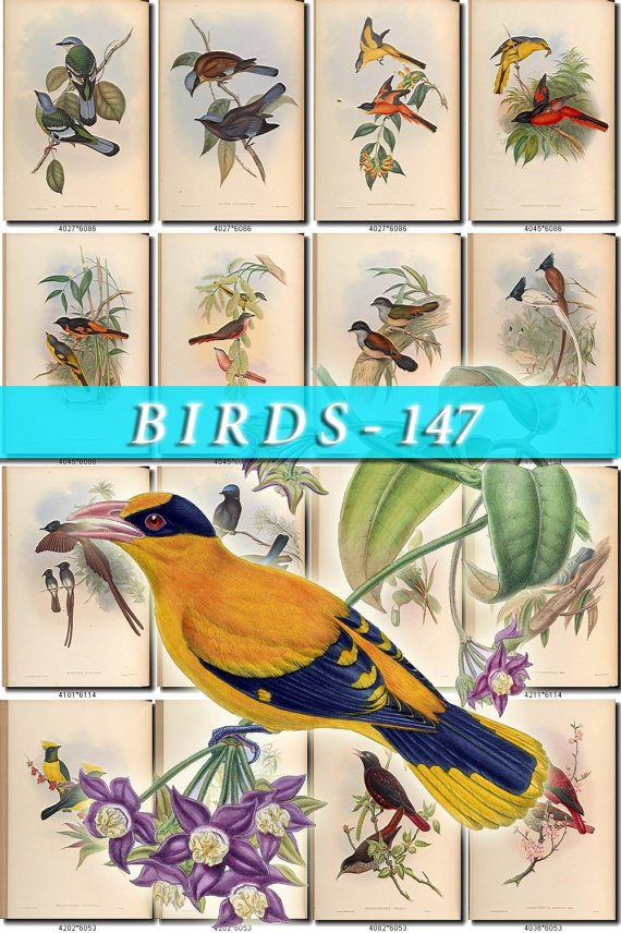 BIRDS-147 175 vintage print