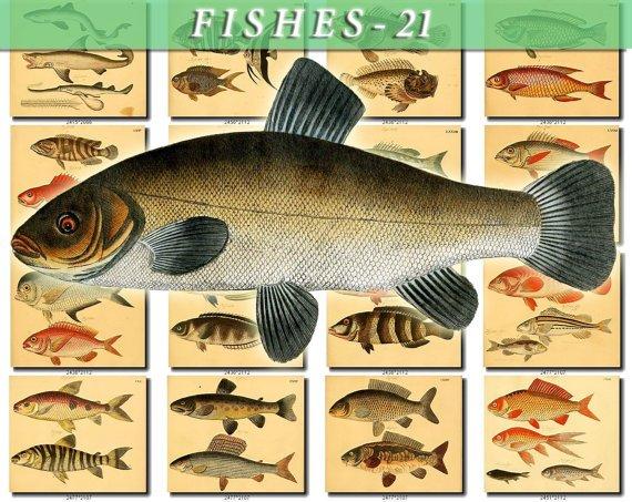 FISHES-21-b2 238 vintage print