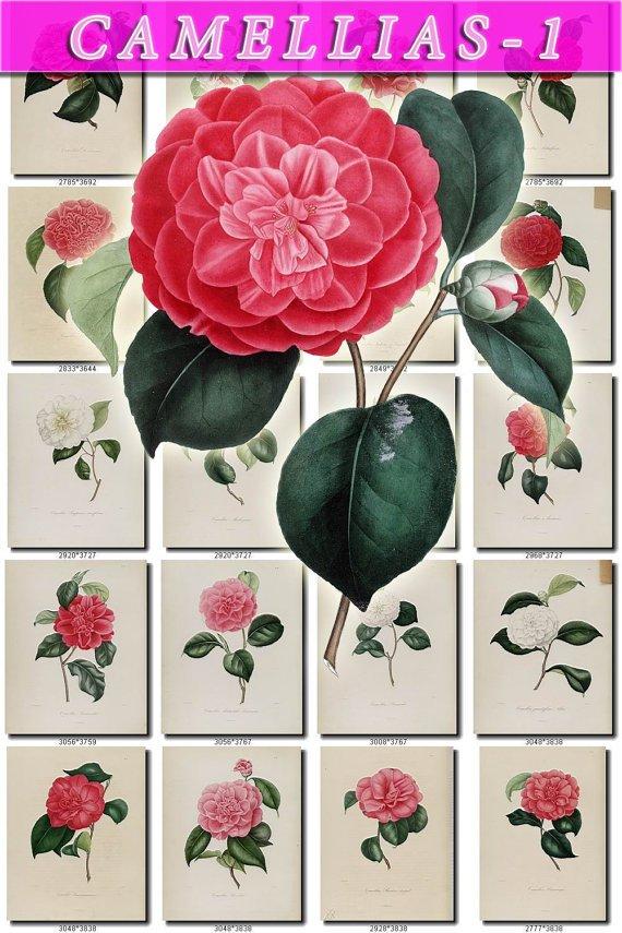 CAMELLIAS-1 flowers 101 vintage print