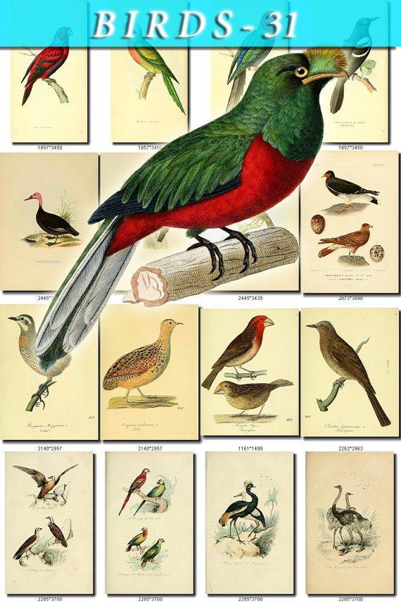 BIRDS-31 225 vintage print